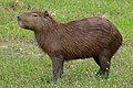 Capybara (Hydrochoerus hydrochaeris) (28482081964).jpg