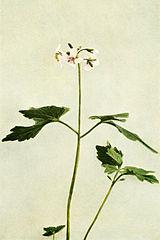 Cardamine diphylla WFNY-081B.jpg
