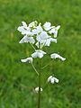 Cardamine trifolia. Waardevolle wintergroene bodembedekker 02.JPG