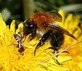 Carder ^ cuckoo bee combo - Flickr - S. Rae.jpg