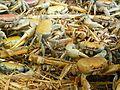 Cardisoma guanhumi (crustacés).jpg