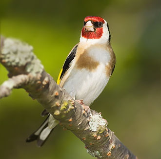 Carduelis - The European goldfinch belongs to a group of red- or yellow-faced species.