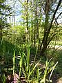 Carex pilosa sl14.jpg