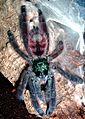 Caribena versicolor 8 Fh.jpg