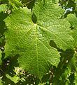 Carmenere leaf.JPG