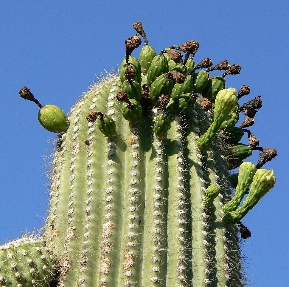Carnegiea gigantea top
