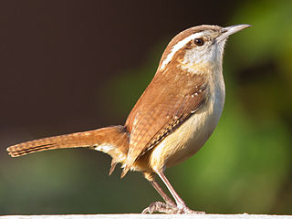 Carolina wren species of bird