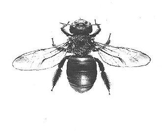 Eastern carpenter bee - Female X. virginica