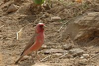Carpodacus synoicus male(01)