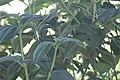 Cassia fistula 18zz.jpg