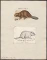 Castor fiber - 1700-1880 - Print - Iconographia Zoologica - Special Collections University of Amsterdam - UBA01 IZ20400215.tif
