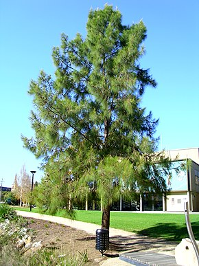 Description de l'image Casuarina cunninghamiana growing next to the Wollundry Lagoon (3).jpg.