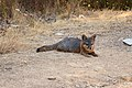 Catalina Island Fox (Urocyon littoralis catalinae) sitting.jpg