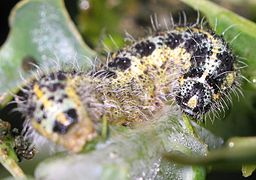 Caterpillar of Pieris brassicae 9080.jpg