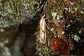Catoptria sp. (28349714467).jpg