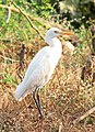 Cattle Egret (2125860473).jpg