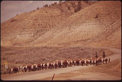 Cattle Herd in Piceance Basin, 04-1973 (3815849266).jpg