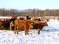 Cattle in the Snow, Stirling (2153013312).jpg