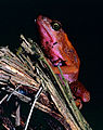 Cayenne Stubfoot Toad (Atelopus flavescens) (10745514396).jpg