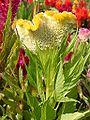 Celosia argentea plumosa nana.JPG