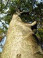 Celtis australis (5).JPG
