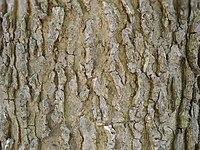 Celtis occidentalis 06100.jpg