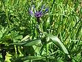 Centaurea montana 2 RF.jpg