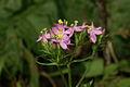 Centaurium pulchellum PID942-2.jpg