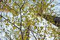 Cerasus jamasakura - Flickr - odako1 (3).jpg