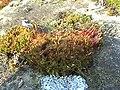 Ceratodon purpureus (Habitus) 1.jpg