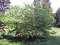 Cercis canadensis 27zz.jpg