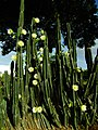 Cereus cactus Aliyar ph 01.jpg