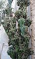 Cereus peruvianus monstruosus.jpg