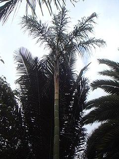 <i>Ceroxylon vogelianum</i> species of plant