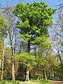 Chêne au bois de Vaires.jpg