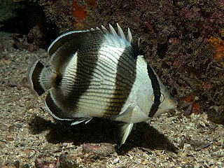 Banded butterflyfish species of fish