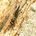 Chalcid Wasp (34396557906).jpg