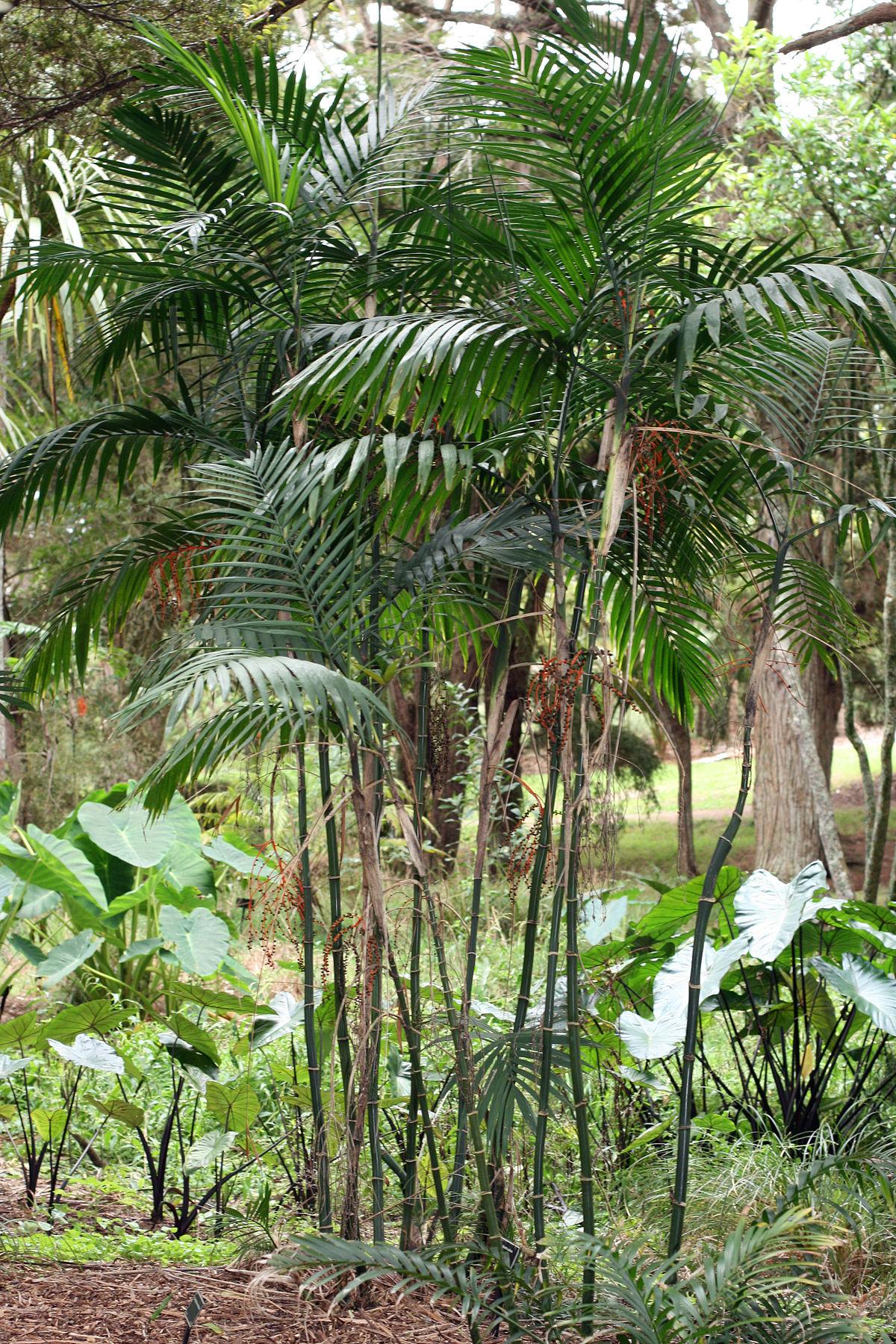 Chamaedorea costaricana.jpg