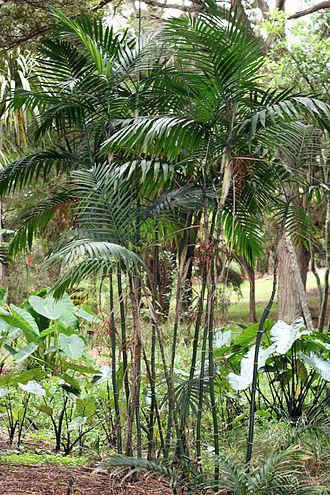 Chamaedorea - Chamaedorea costaricana