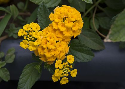 Chapel hill yellow in Palermo (Lantana Yellow)