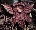 Chaubardiella tigrina-02.jpg