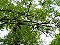 Chaussures sur un arbre @ Seynod (50884012648).jpg
