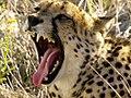 Cheetah (6521901511).jpg
