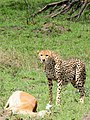 Cheetah with Impala kill (3076129378).jpg