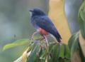 Chelidoptera tenebrosa Monjita culiblanca Swallow-winged Puffbird (33104544281).png