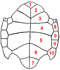 Chelonia scutes plastron.PNG