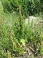 Chenopodium rubrum (s. str.) sl36.jpg