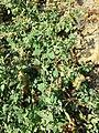 Chenopodium vulvaria sl93.jpg