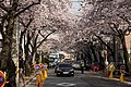 Cherry Blossom in Jinhae-2016-04-02-3.jpg