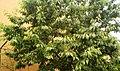 Cherry tree Kobiljak.jpg